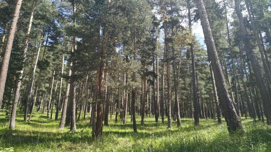 Sarıkamış Ormanları